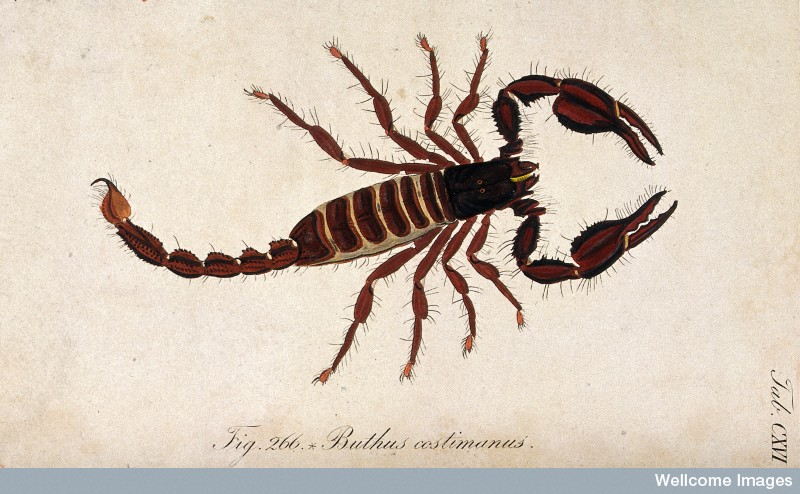 V0022401 A large scorpion: Buthus costimanus. Coloured engraving. Credit: Wellcome Library, London. Wellcome Images images@wellcome.ac.uk http://wellcomeimages.org A large scorpion: Buthus costimanus. Coloured engraving. Published: - Copyrighted work available under Creative Commons Attribution only licence CC BY 4.0 http://creativecommons.org/licenses/by/4.0/